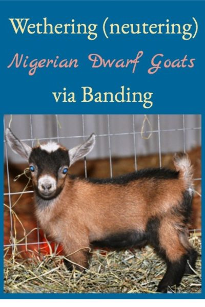 How to wether (castrate) a male goat via banding