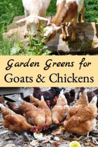 Garden Greens for Goats & Chickens