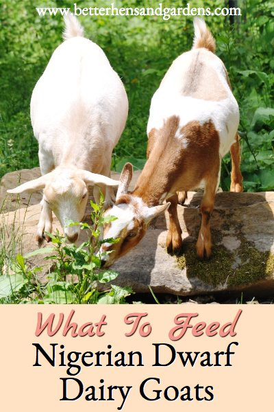 What to feed Nigerian Dwarf dairy goats to keep them healthy and happy