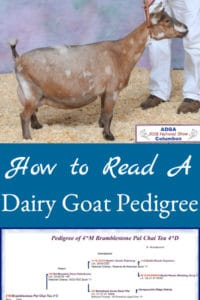 Describes how to read and understand a dairy goat pedigree