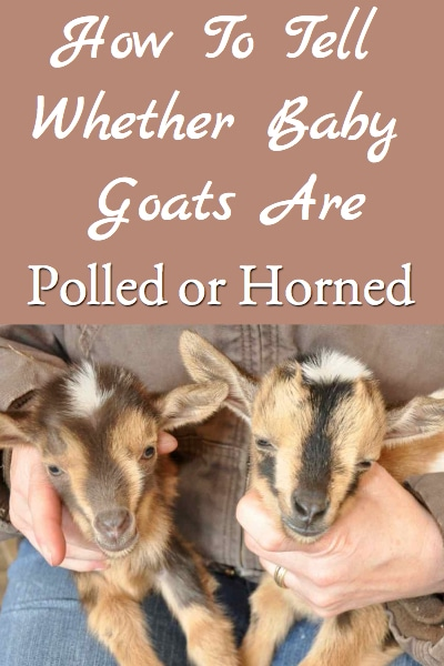 How To Tell Whether Baby Goats Are Horned or Polled