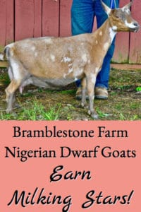 Bramblestone Farm Nigerian Dwarf Goats Earn Milk Production Stars!