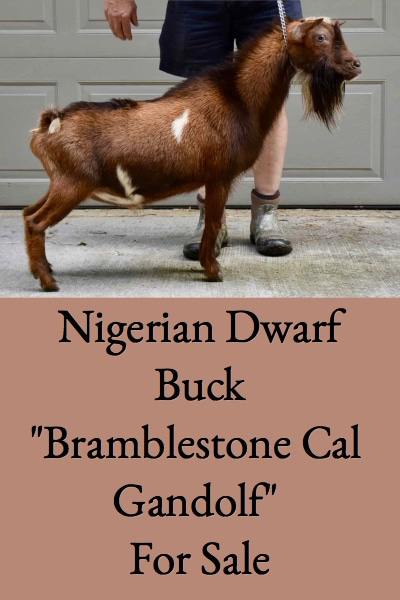 Bramblestone Nigerian Dwarf Buck For Sale