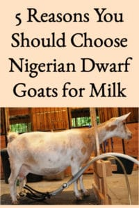 5 Reasons You Should Choose Nigerian Dwarf Goats for Milk