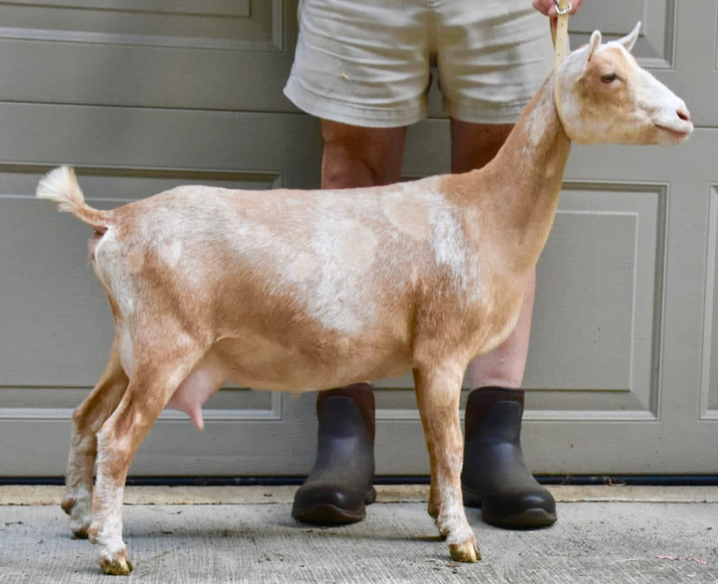 Introducing Nigerian Dwarf goat Bramblestone Peach Tea