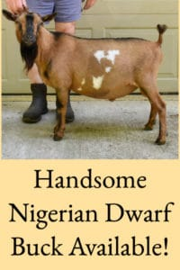 Handsome Nigerian Dwarf Buck Available