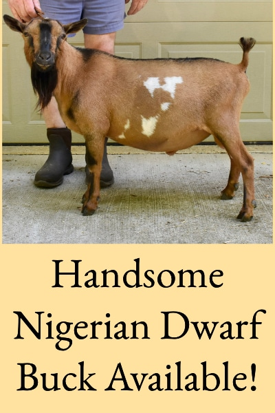 Nigerian Dwarf Buck Available
