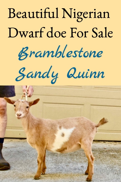 Nigerian Dwarf Doe For Sale