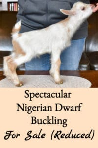Spectacular Nigerian Dwarf Buckling For Sale (Price Reduced)