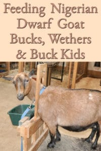 Feeding Nigerian Dwarf Goat Bucks, Wethers, and Buck Kids
