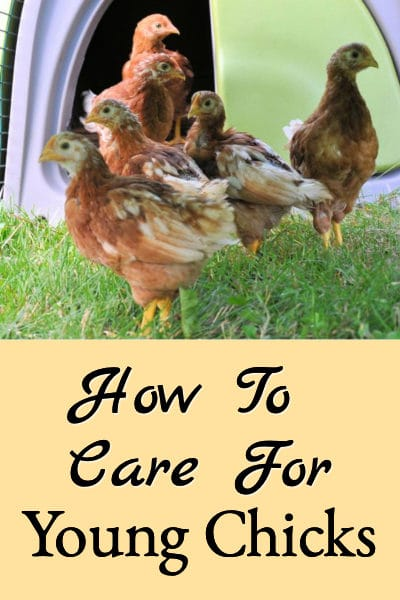 young chick care