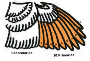 ten-primary-chicken-wing- illustration