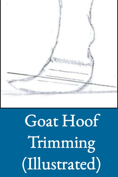 goat-hoof-trimming-illustrated