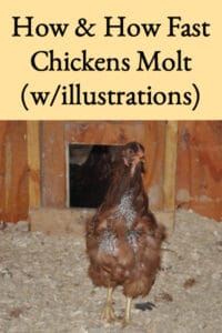 How & How Fast Chickens Molt (with illustrations)