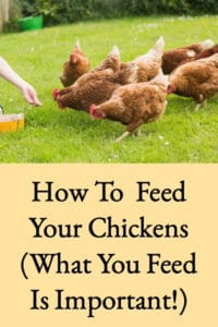 How To Feed Your Chickens (What You Feed Is Important)