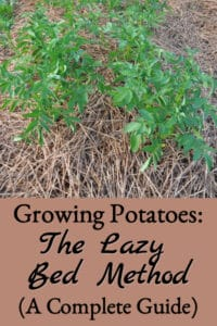 Growing Lazy Bed Potatoes (A Complete Guide)