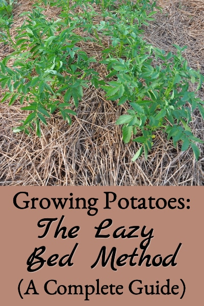 growing lazy bed potatoes