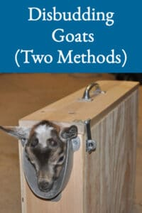 Disbudding Goats (Two Methods)