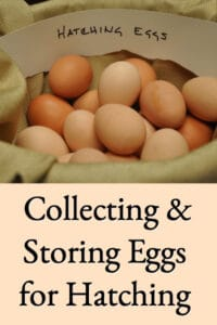 Collecting & Storing Chicken Eggs for Hatching