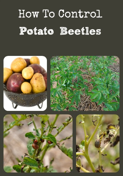 Controlling Potato Beetles via Better Hens and Gardens