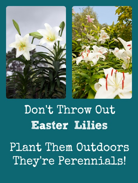 Don't Throw Out Your Easter Lilies - They're Perennials!