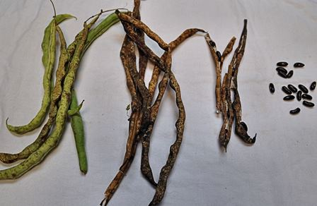 Stages of dried green beans