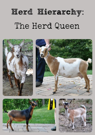 Herd Hierarchy Collage via Better Hens and Gardens