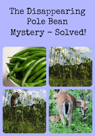 Pole Bean Mystery via Better Hens and Gardens