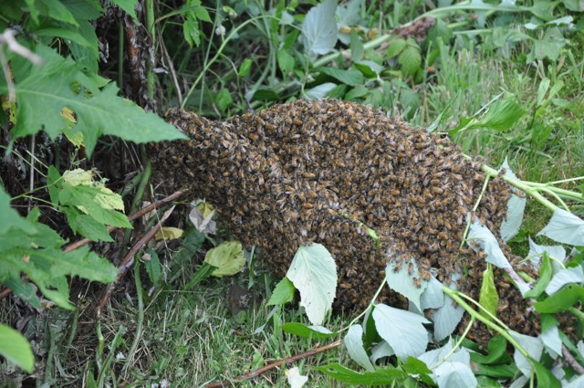 Bee Swarm Closeup