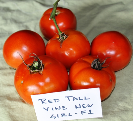 Tomato Comparison_Red Tall Vine New Girl Large