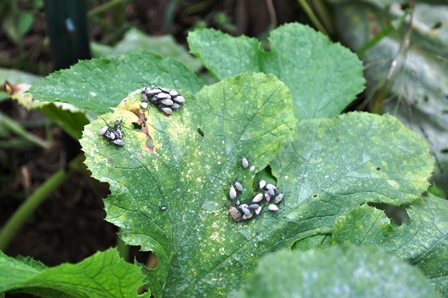 Zucchini Leaf Infested With Adult Squash Bugs